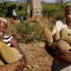 Reuters: 'Superfood' craze makes big business of Africa's baobab